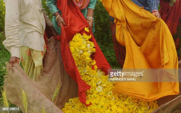 Indian labourers collect golden marguerite or yellow chamomile flowers picked in a field on the outskirts of Amritsar on April 6 2017 Labourers earn...