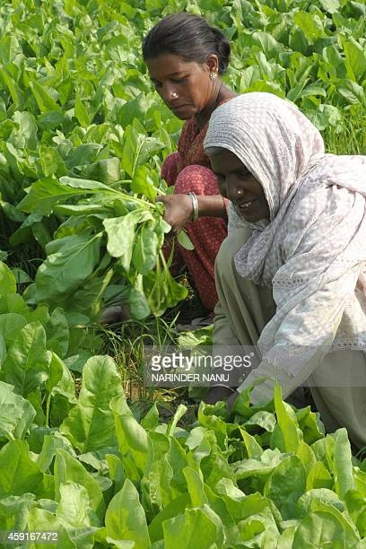 Indian labourers harvest spinach in a field on the outskirts of Amritsar on November 18 2014 An explosion of workingage people in India could serve...