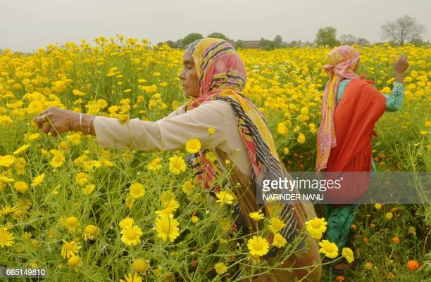 Indian labourers pick golden marguerite or yellow chamomile flowers in a field on the outskirts of Amritsar on April 6 2017 Labourers earn some 200...
