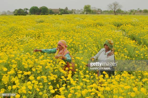TOPSHOT Indian labourers pick golden marguerite or yellow chamomile flowers in a field on the outskirts of Amritsar on April 6 2017 Labourers earn...