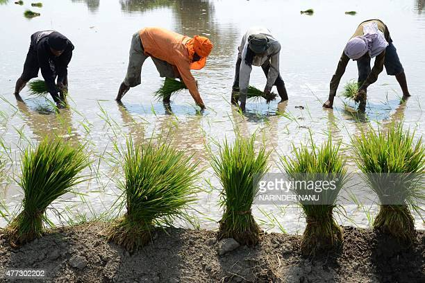 Indian labourers plant rice paddy cuttings in a field on the outskirts of Amritsar on June 16 2015 The India Meteorological Department has predicted...