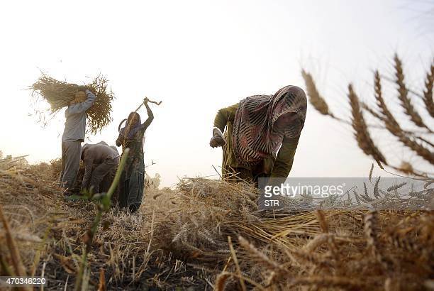 Indian labourers prepare sheaves of wheat after harvesting the crop in a village at Patiala on April 19 2015 AFP PHOTO