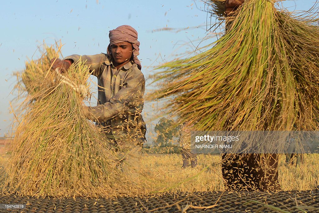 Indian labourers thresh rice in a field in Attari village some 30 Kms from Amritsar on October 25, 2012. The Indian state of Punjab is the country's biggest producer of paddy rice.