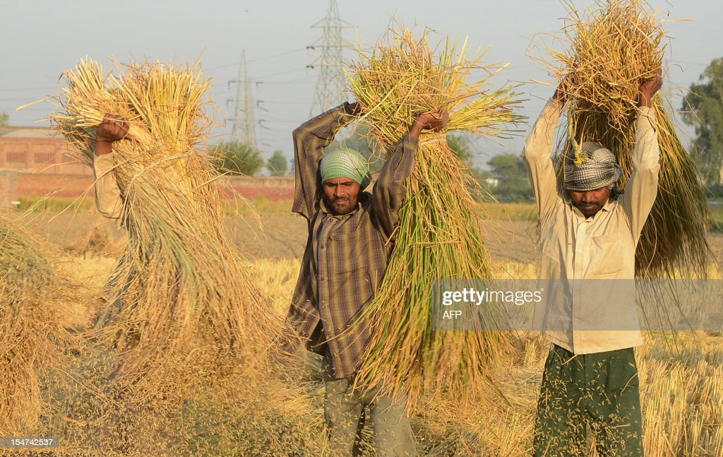 Indian labourers thresh rice in a field in Attari village some 30 Kms from Amritsar on October 25, 2012. The Indian state of Punjab is the country's biggest producer of paddy rice. AFP PHOTO/NARINDER NANU