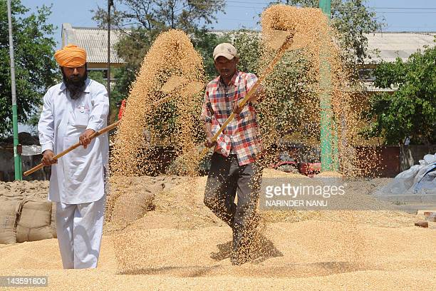 Indian labourers use shovels to separate grains of wheat from the husk at a grain market on the outskirts of Amritsar on April 30 on the eve of...