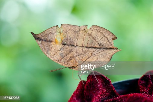 Indian Leaf Butterfly : Stock Photo