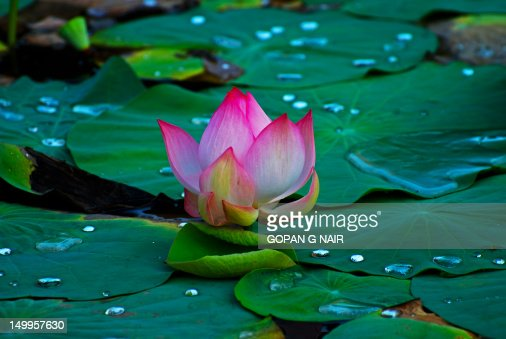 indian lotus flower stock photo  getty images, Beautiful flower