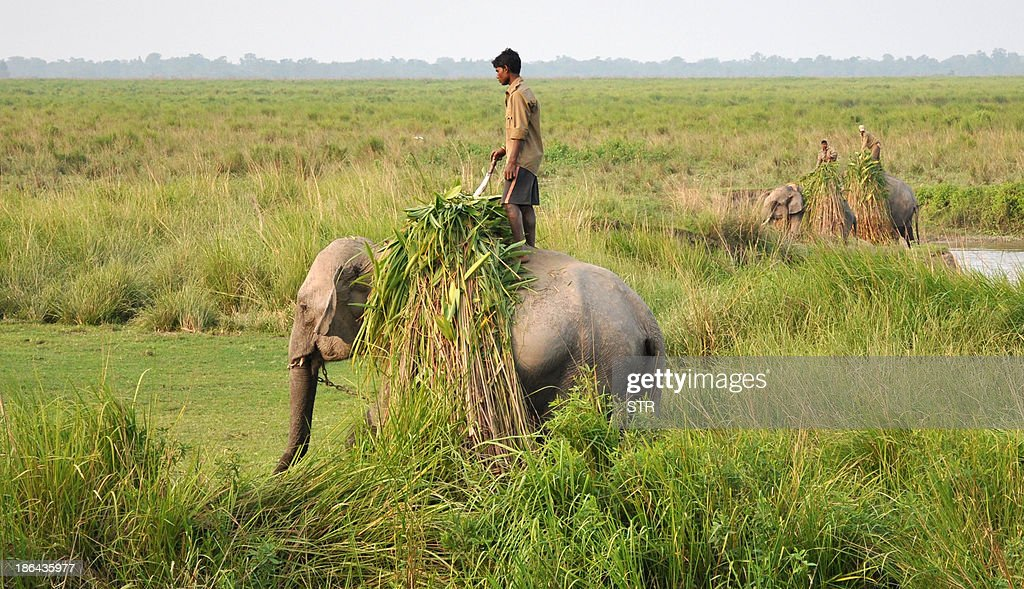 Indian mahouts transport grass on elephants at the Kaziranga National Park, about 250 kms from Guwahati on October 31, 2013. The world famous Kaziranga National Park will be reopened for tourists from November 1, 2013. There are seventeen species of mammals, twenty three species of birds and ten species of reptiles which are on the endangered list in Kaziranga which has the worlds largest concentration of Indian one horned rhino. AFP PHOTO/Biju Boro