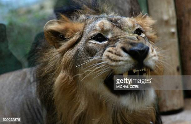 Indian male lion Jamvan reacts in his enclosure on December 20 2015 at the Prague zoo Three Indian Lions arrived to the Zoo in Prague from the Indian...