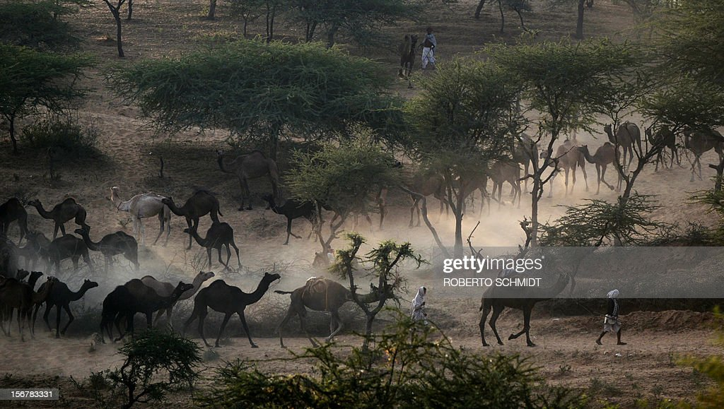 A Indian man leads his flock of camels down a dusty hill on the outskirts of Pushkar as he heads to the Puskar camel fair on November 21, 2012. The annual five-day camel and livestock fair, held in the town of Pushkar in the state of Rajasthan is one of the world's largest camel fairs, and apart from buying and selling of livestock it has become an important tourist attraction. AFP PHOTO/Roberto Schmidt