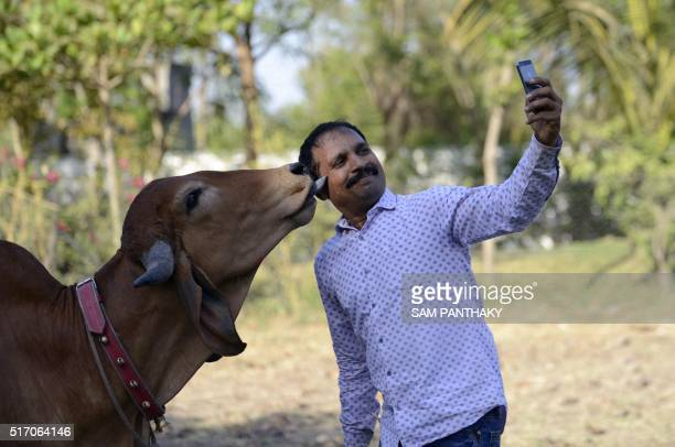 Indian man Vijay Parsana takes a selfie photograph with his cow Poonam on the eve of her marriage in Ghuma village some 20 km from Ahmedabad on March...