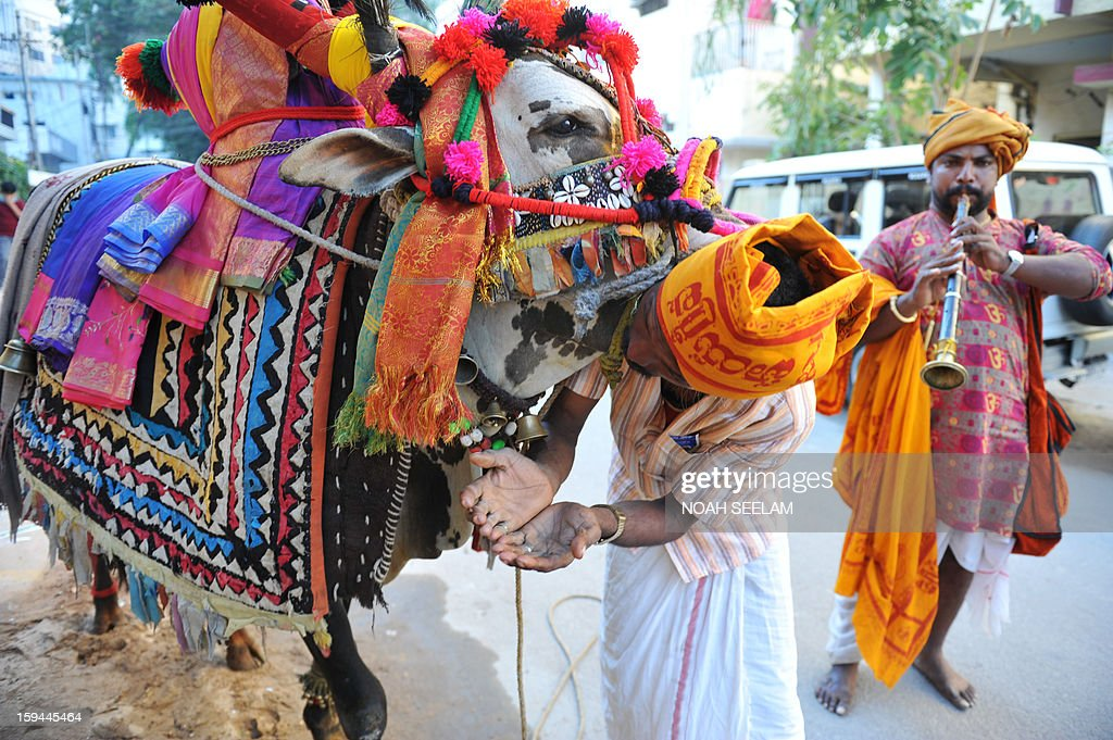 Indian musicians with a decorated bull perform on a street as a part of the Sankranti festival in Hyderabad on January 14, 2013. In the festival a multicoloured decorated bull moves from house to house lead by a performer who plays Nadaswaram music, in return for money, clothes and grains. AFP PHOTO/ Noah SEELAM
