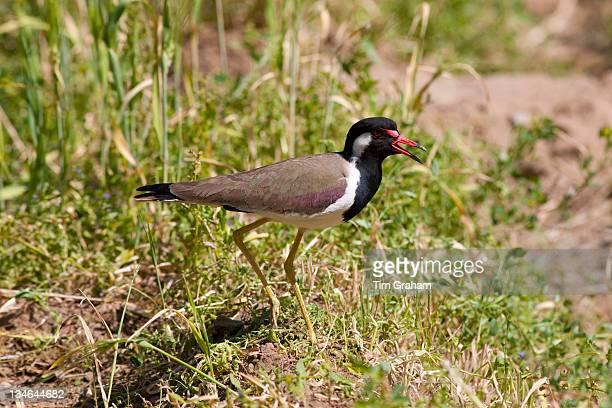 Indian native bird in field at Nimaj Rajasthan Northern India