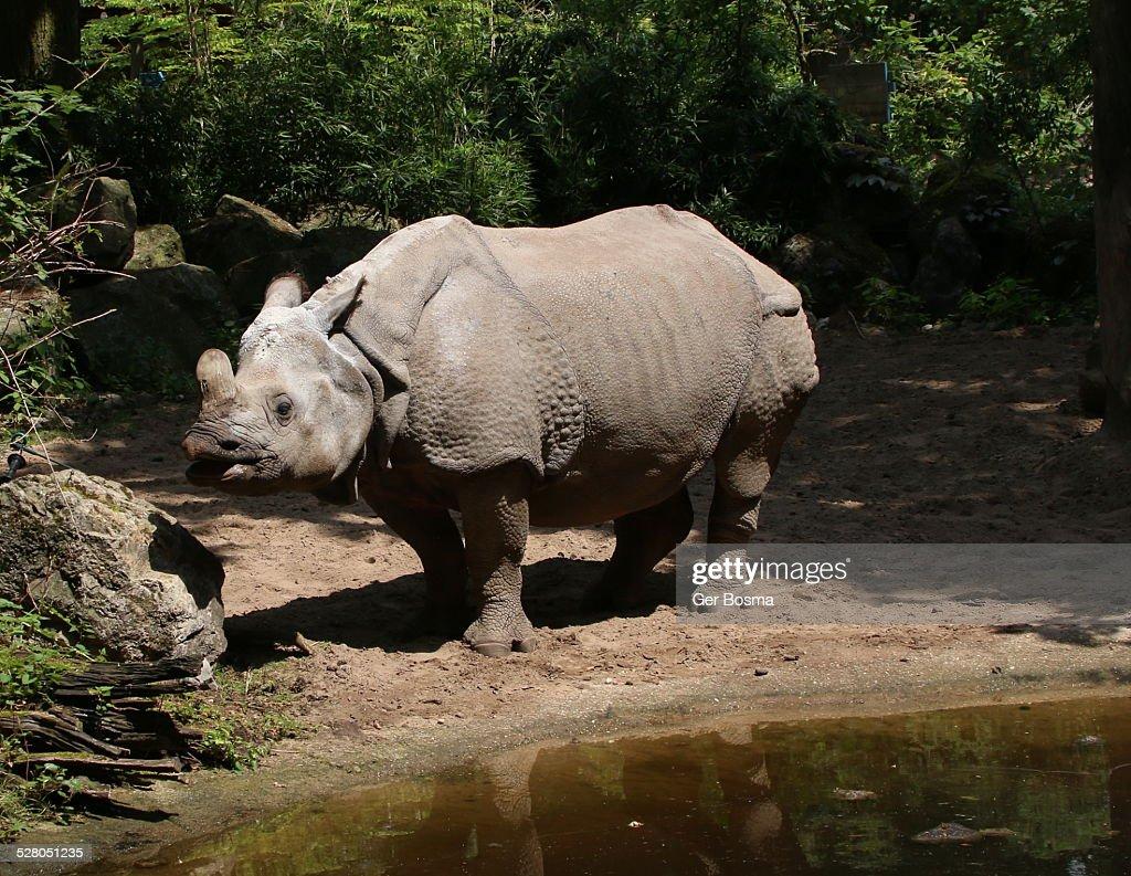 Indian one-horned rhinoceros