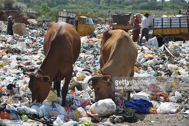 Indian oxen eat waste as ragpickers collect recyclable items at a garbage dump yard on the outskirts of Hyderabad on April 22 2015 on Earth Day Earth...