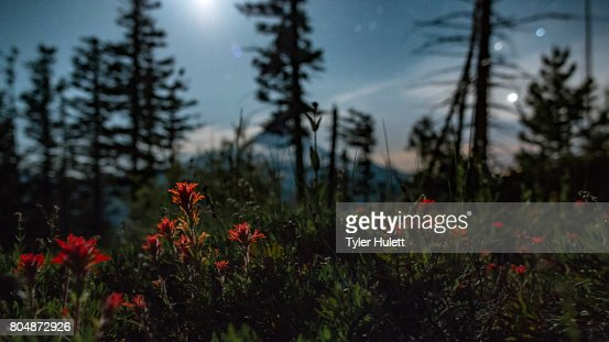 Indian paintbrush wildflowers and Mt. Hood by moonlight under night sky with stars 1 : Stock Photo