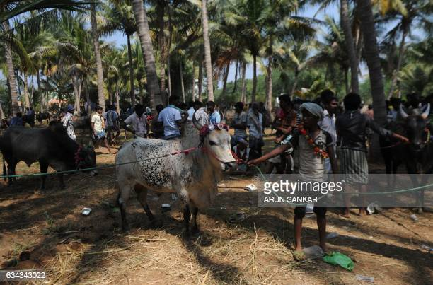 Indian participants line up their bulls during an annual 'Jallikattu' bulltaming in the village of Palamedu on the outskirts of Madurai on February 9...