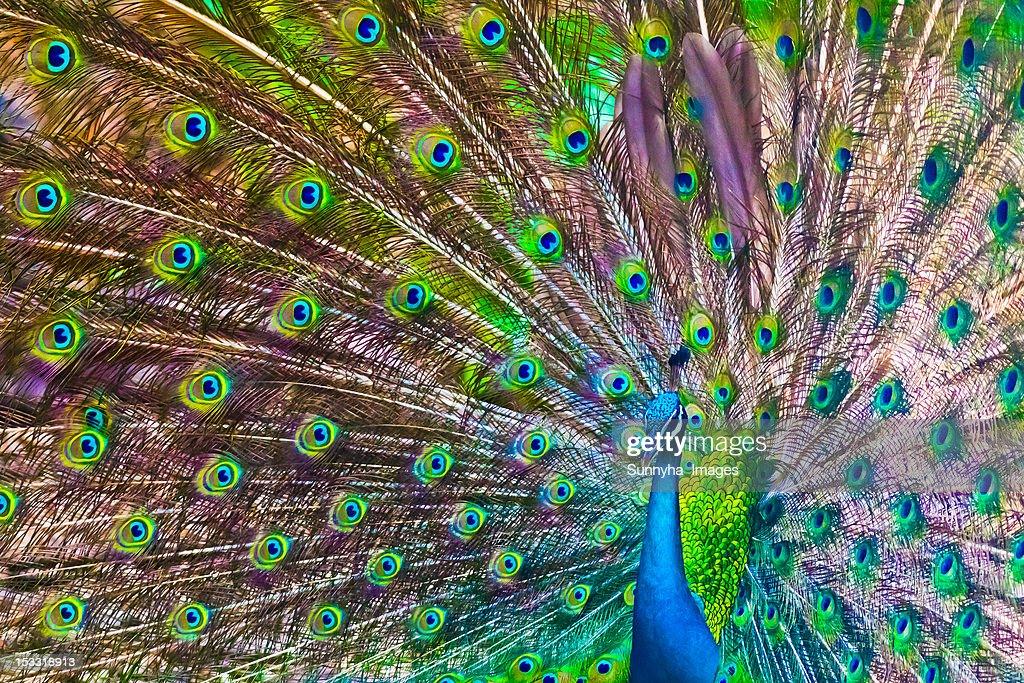 Indian peacock : Stock Photo