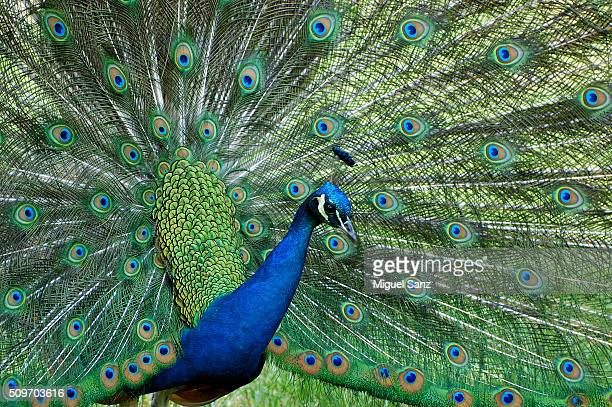 Indian peafowl (Pavo cristatus) portrait