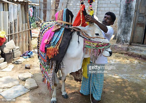 Indian performer Avula Anjaiah decorates his bull used as a 'Gangireddu' in front of his house on the outskirts of Hyderabad on March 29 2016 A...