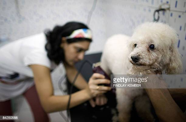 Indian pet care specialist Preeti Kumar shaves a poodle at The Scooby Scrub Pet Care Centre in New Delhi on November 9 2008 The pet grooming industry...