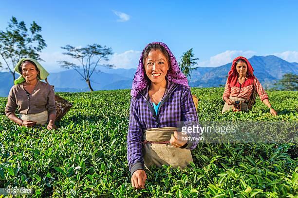 インドの採取人を物色できるティーのダージリン,インド