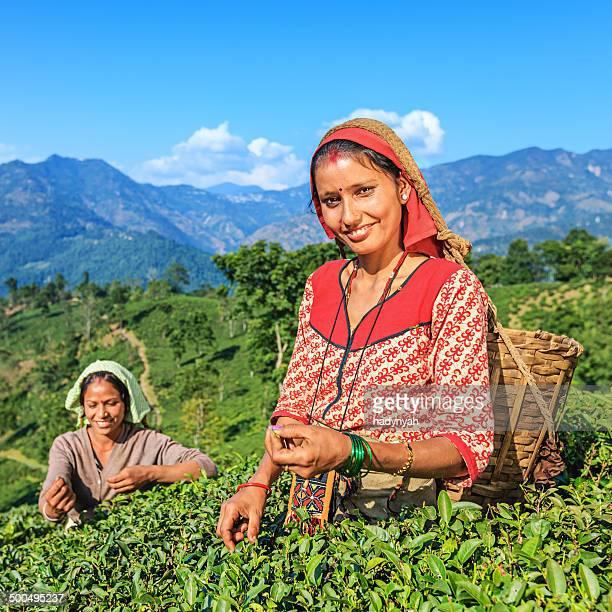 Indian Musiker plucking Teeblätter in der Darjeeling, Indien