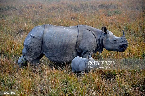Indian rhino and baby