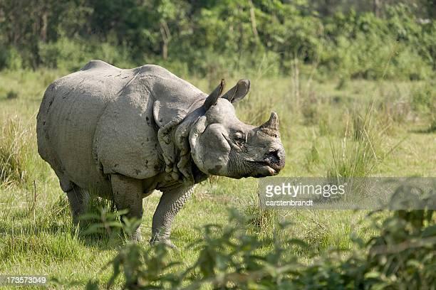 Indian Rhino Stier