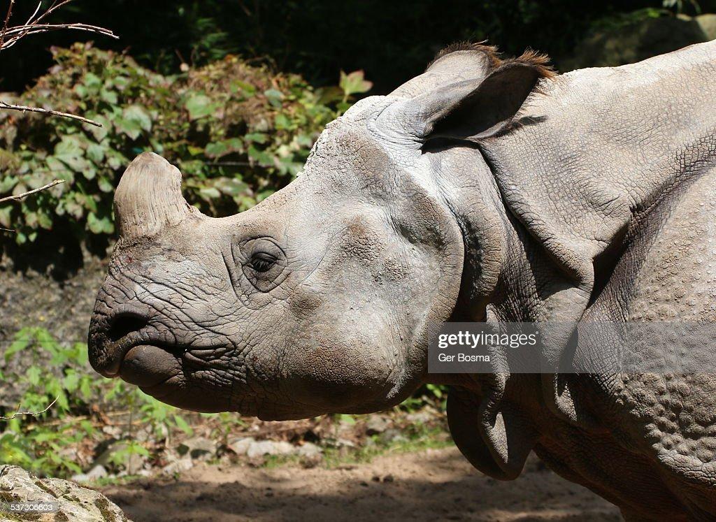 Indian Rhino Portrait