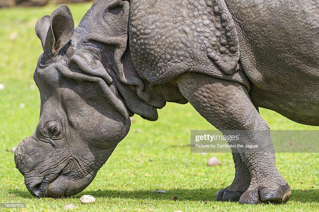 Indian rhino profile
