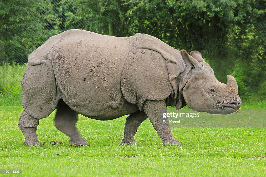 Indian Rhinoceros chewing. Rhinoceros unicornis. I