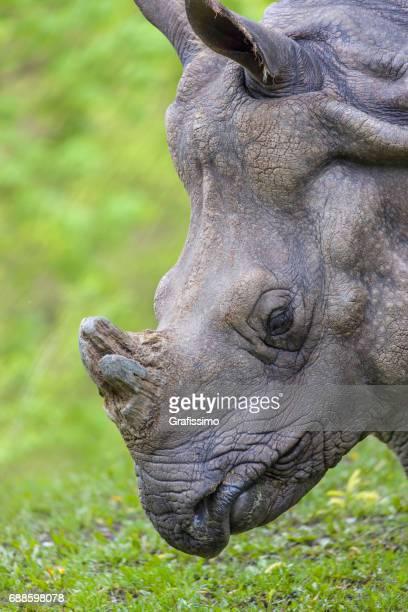 Indian rhinoceros headshot sideview
