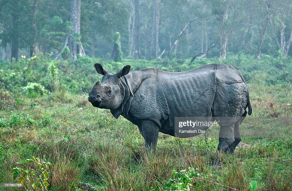 Indian Rhinoceros in the first morning light