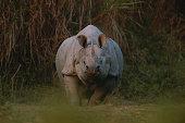 Indian rhinoceros (Rhinoceros unicornis) standing on grass, Kazaringa, India