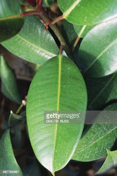 indian rubber fig or rubber plant detail of the leaves moraceae