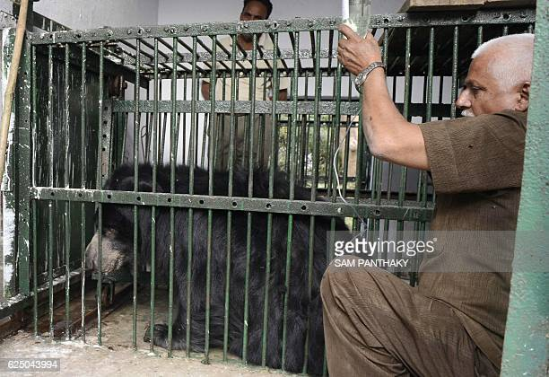 Indian senior animal keeper Ranjitsinh Jadeja treats an eighteen yearold male sloth bear named 'Veeru' who sufffering with a cold and cough at the...