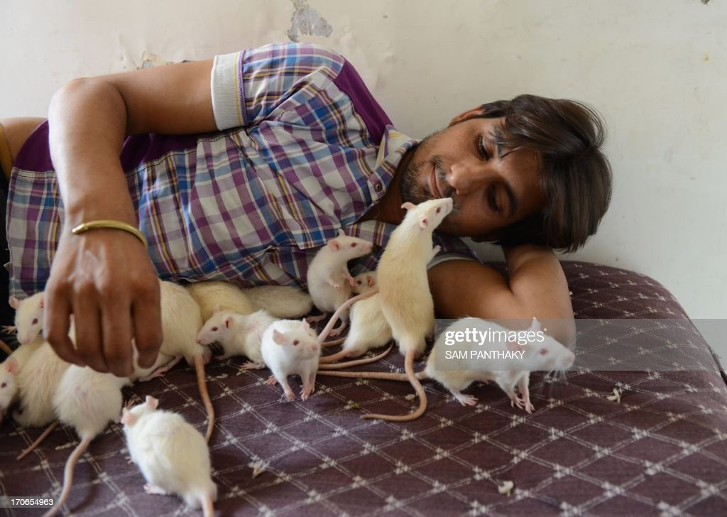 Indian shop owner, Sonu Sharma, 26, plays with rats at his residence in Ahmedabad on June 16, 2013. Sonu, nicknamed the Ratman, has over 50 rats and at any given time there are at least 10 white mice crawling on him. He adopted four white rats over a year ago, since then they multiplied and he has kept many as pets. AFP PHOTO / Sam PANTHAKY