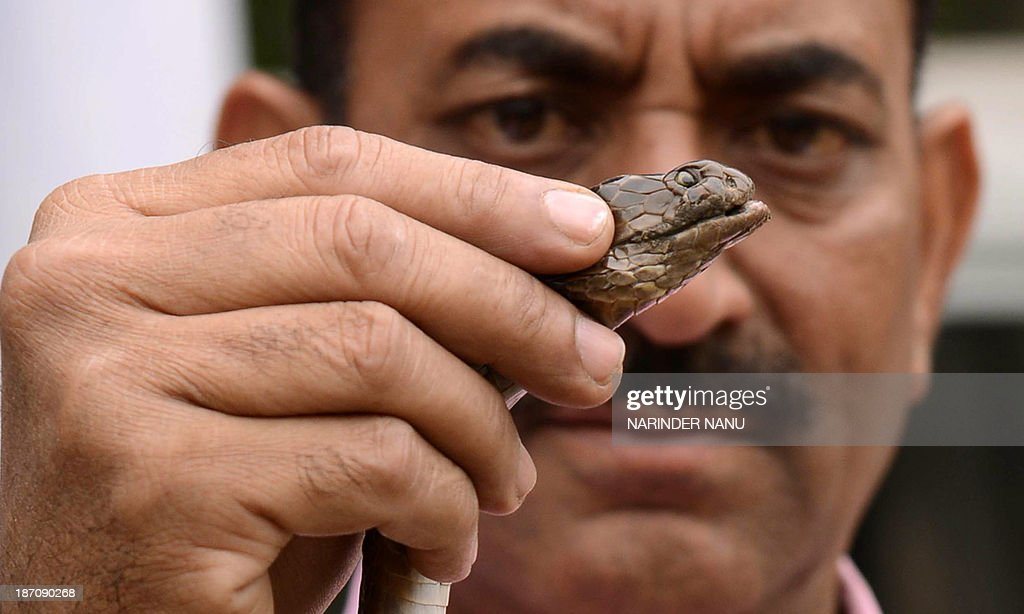 Indian Society for the Prevention of Cruelty to Animals (SPCA) Inspector, Ashok Joshi, poses with a cobra that he caught in a factory on the outskirts of Amritsar on November 6, 2013. Snakes and particularly the King Cobra are venerated in India as religious symbols worn by Lord Shiva, the god of destruction. India has 238 species of the reptile, of which 50 are poisonous.