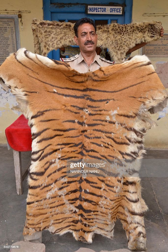 Indian Society for the Prevention of Cruelty to Animals (SPCA), inspector Ashok Joshi holds recovered tiger and cheetah skins during a press conference in Amritsar on June 30,2016. Joshi recovered two tiger skins and a cheetah skin from a bag dropped behind a tree near a Sikh Shrine by an unknown person who ran away. / AFP / NARINDER