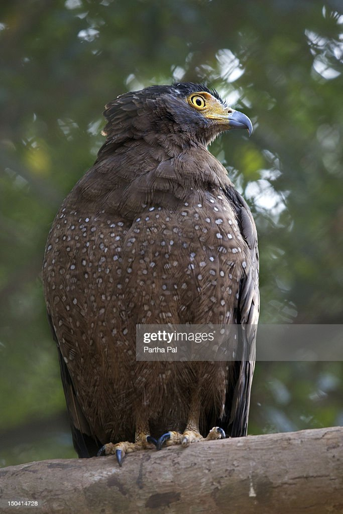 Indian Spotted Eagle. : Stock Photo