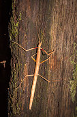 Indian Stick Insect (Carausius morosus), Cape Town, South Africa