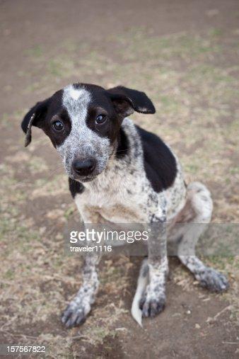 Indian Street Puppy