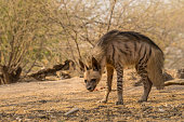 This image of Indian Stripped Hyena is taken at Gujarat in India.