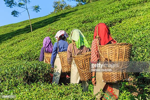 Indian tea pickers crossing plantation