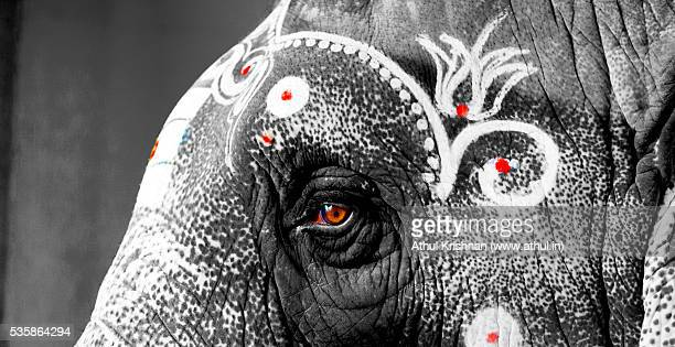 Indian temple elephant close up