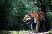 He is Bheema, as named by the forest department, an Indian tiger from Kanha,MP, India. This place is famous for its wildlife and tigers. He is a young and full sized fierce tiger who recently had a fi