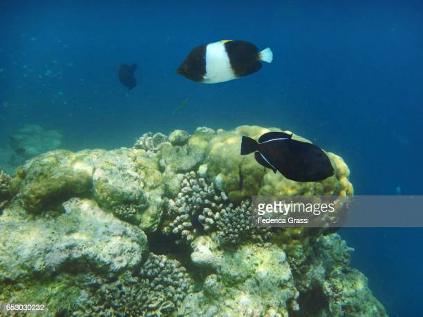 Indian Triggerfish (Melichthys indicus) and Black Pyramid Fish (Hemitaurichthys zoster)