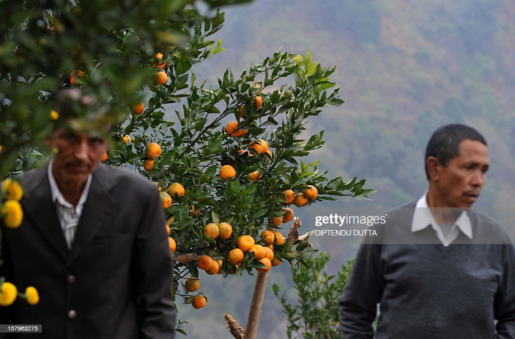 Indian villagers collect oranges from trees at Latpanchar village some 40kms north from Siliguri on December 8, 2012. Latpanchar plantation was established in 1943 with a focus upon delivery of natural Quinine from the Cinchona medicine plants. During the subsequent decades, the plantation also diversified into a variety of crops like Cinchona, Ipecac and Mandarin Orange, which also drew major revenue for the region. AFP PHOTO/ Diptendu DUTTA