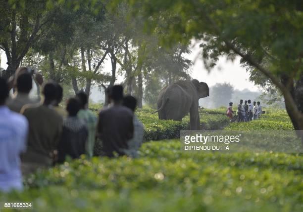 TOPSHOT Indian villagers look on as a herd of 46 wild elephants walk through the Gangaram Tea Garden some 38 km from Siliguri on November 29 2017...